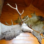 Trophy elk above gas fireplace